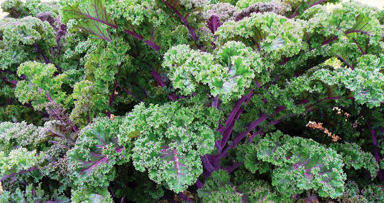 Lighter color of redbor kale.