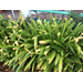 Questions about Agapanthus and Fatsia