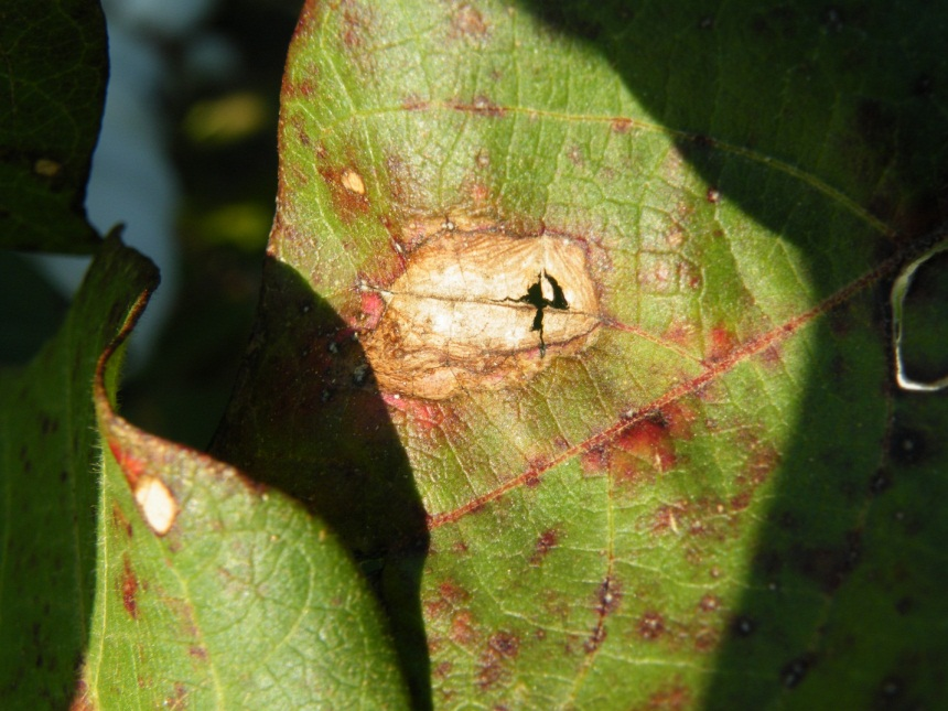 Typical foliar symptoms of Alternaria, Cercospora and Stemphylium leaf spots on cotton plant leaf.