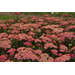 Yarrow is a tough perennial with varied colors