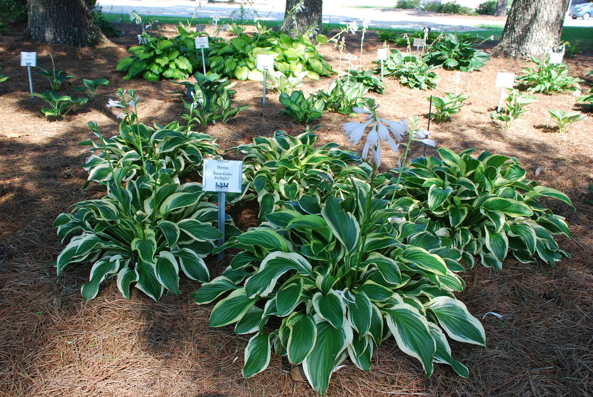 Thriving Hostas for Southern Louisiana Landscapes