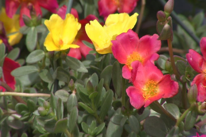 Purslane is great choice for late summer, early fall