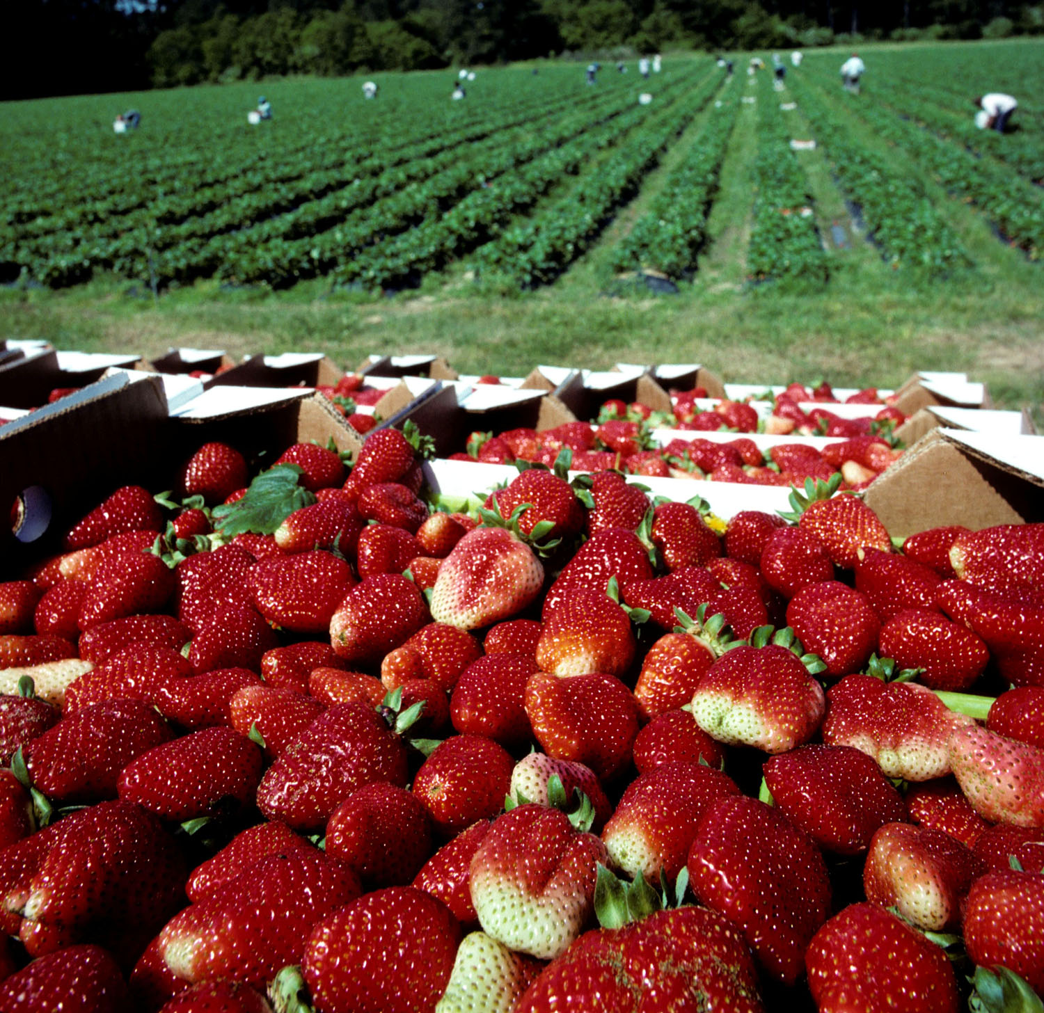 Cold snap will delay strawberries, increase cost
