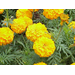 Marigolds Effective Against the Southern Rootknot Nematode