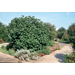Fig trees can enhance landscapes