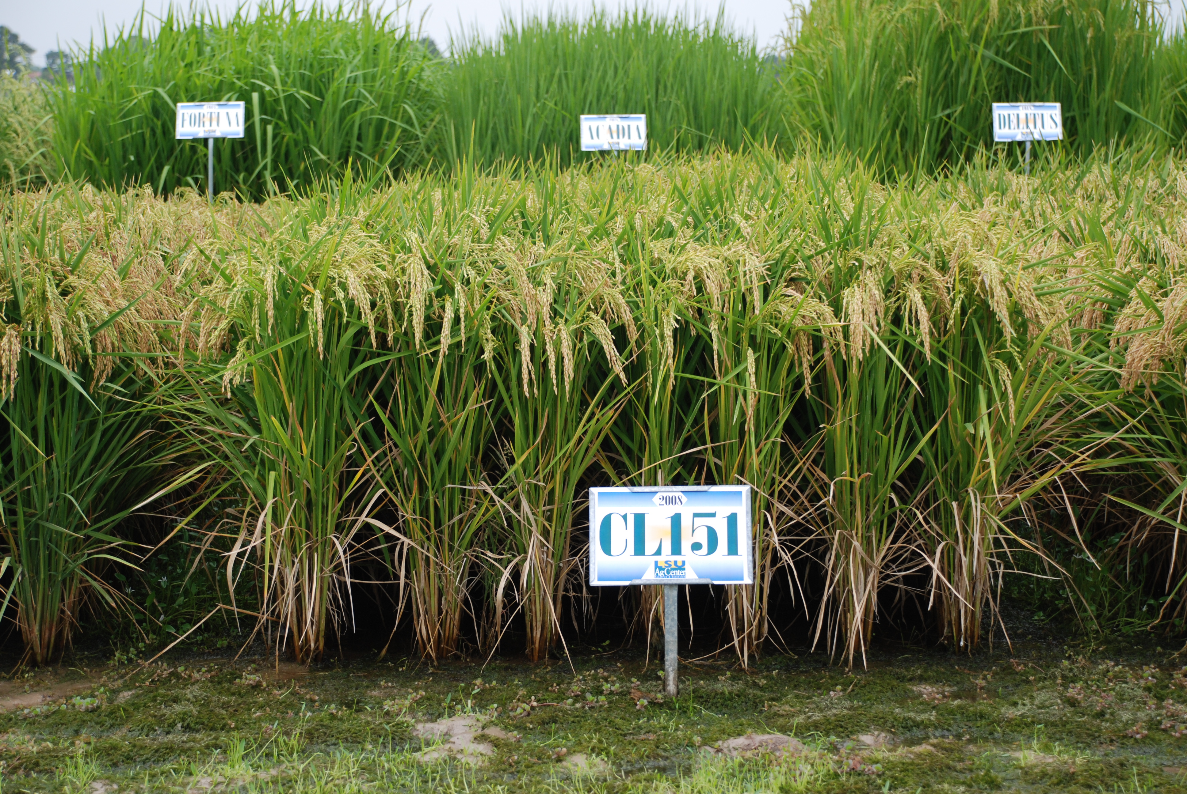 Rice Variety Development - Looking to the Future