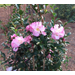 October Magic Camellias – Plants of the Week for Nov. 30 2015