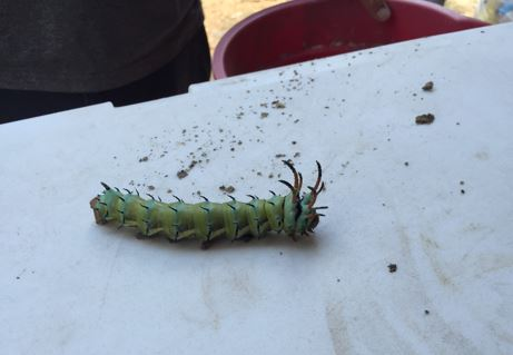 Picture of a hickory horned devil caterpillar.