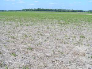Thin soybean stand as a result of Rhizoctonia solani.