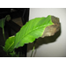 Peace Lily Leaf Tips Are Brown