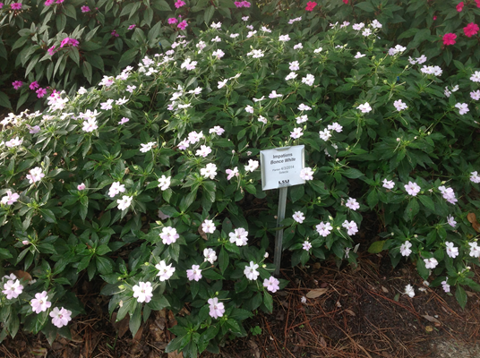 Agcenter Names Top Bedding Plants For 2018, Pictures And Names Of Bedding Plants