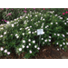 AgCenter names top bedding plants for 2015