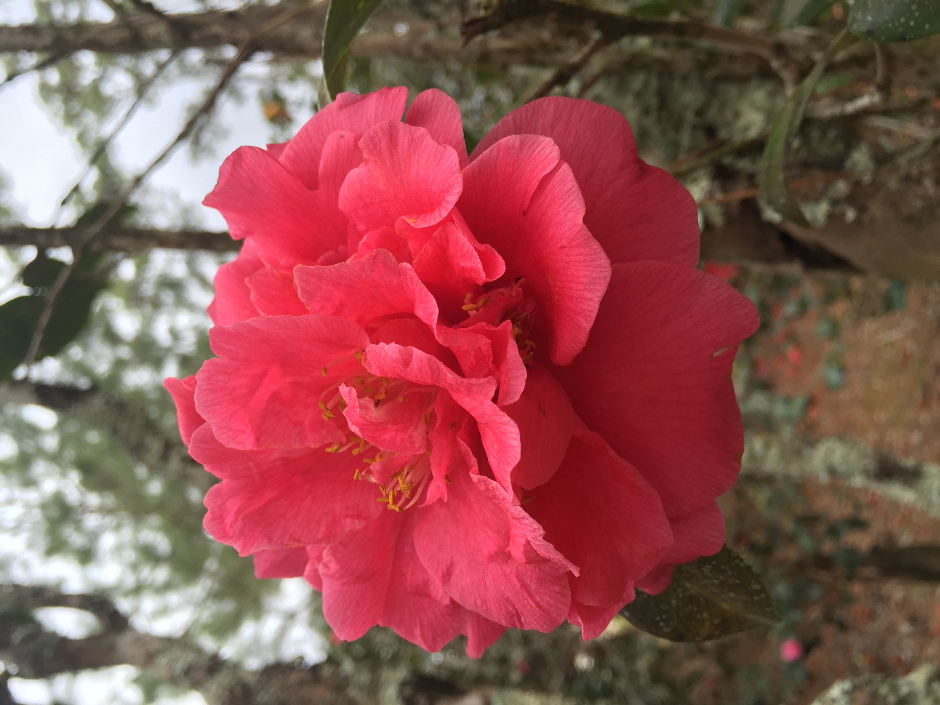 Camellia Garden Stroll set for Feb. 18 in Hammond