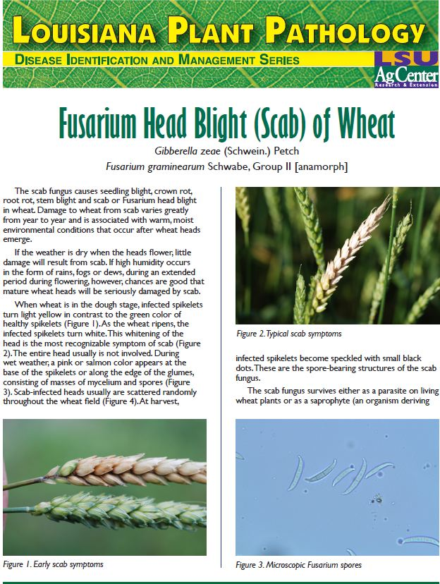Fusarium Head Blight (Scab) of Wheat