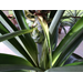 Pineapple Plant Question