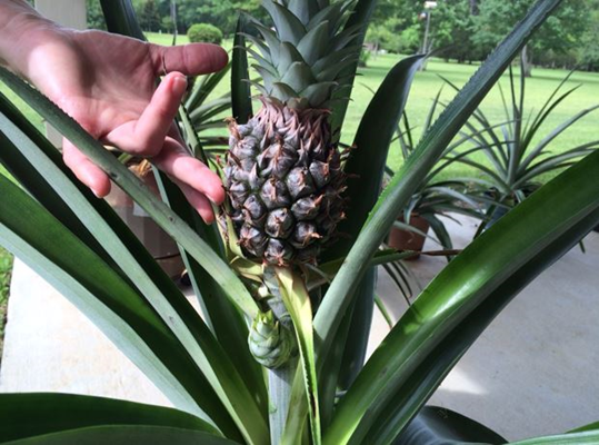 Picture of a pineapple plant