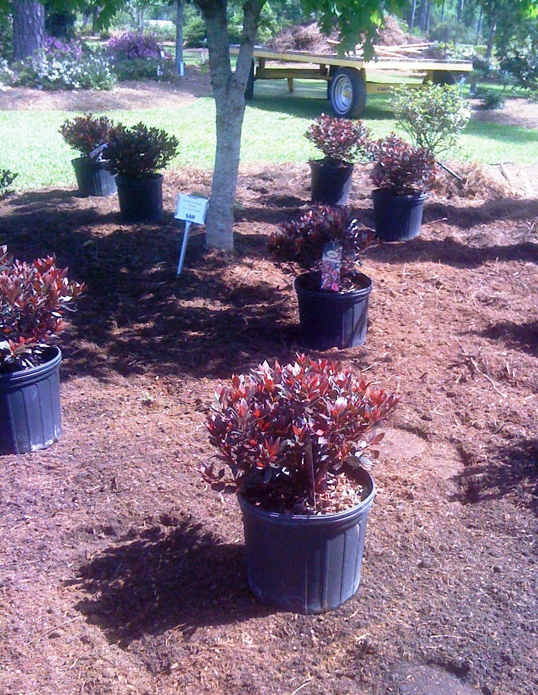 Its time to take care of azaleas
