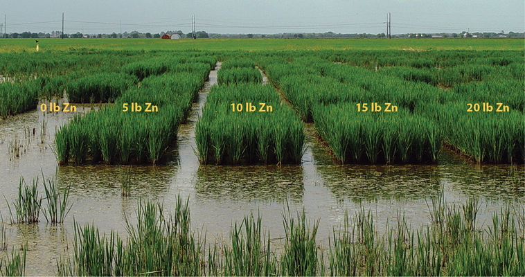 Rice response to varying rate of zinc