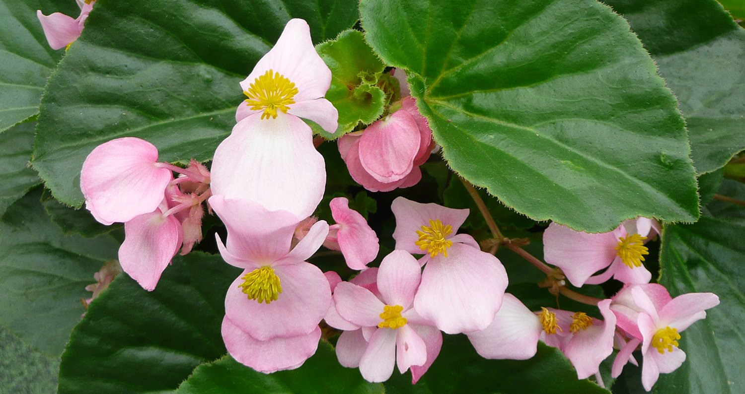 babywing begonia-closejpg