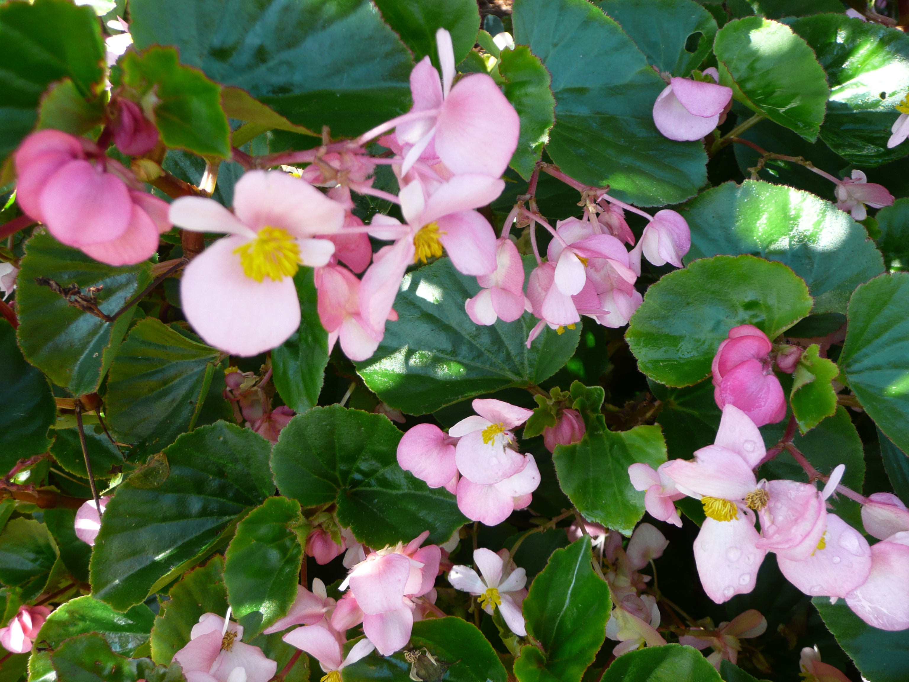 Baby Wing Begonia – Louisiana Super Plant Spring