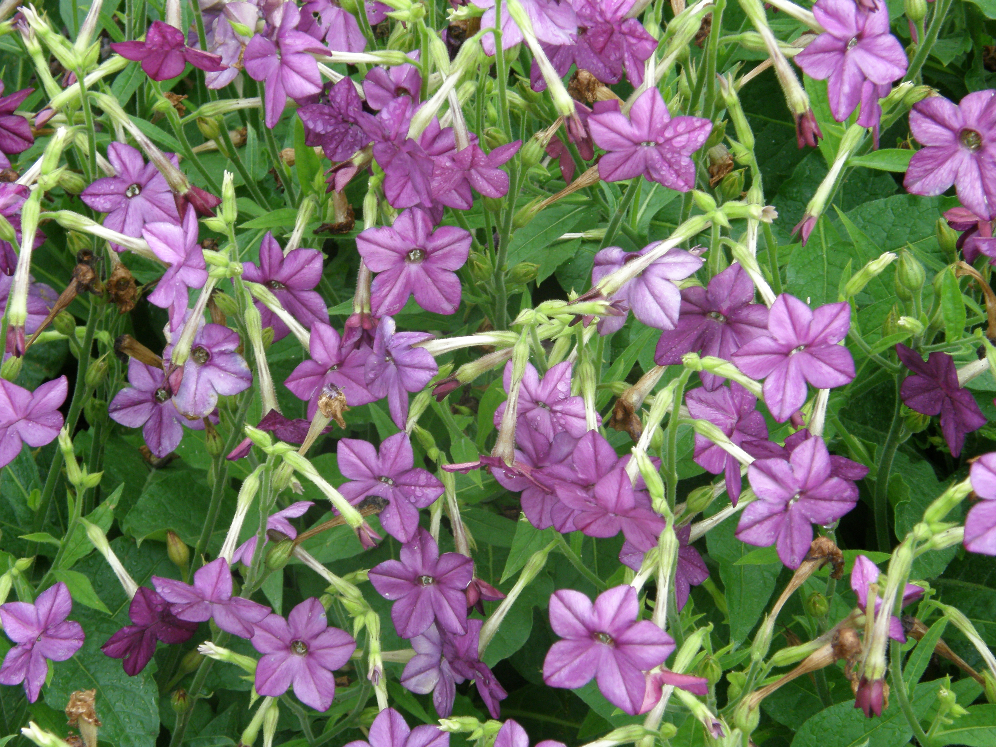 Nicotiana – Plant of the Week for Dec. 14. 2015