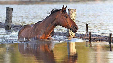 horse in flood waters
