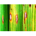 Multiple Lesions On Rice Leaves