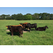 Energy Supplementation of Replacement Beef Heifers on Nelson Annual Ryegrass