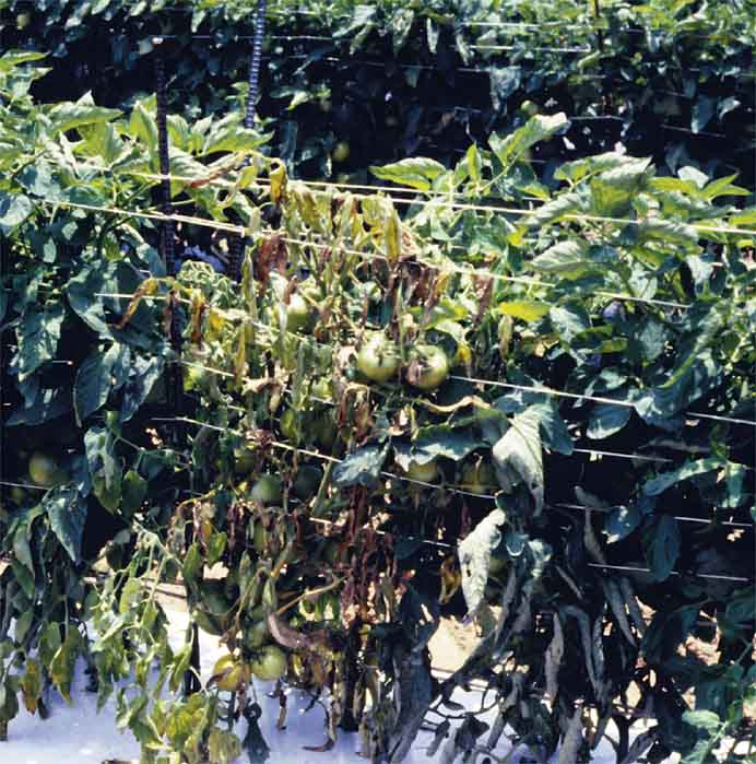 Efficacy of PCNB for the Management of Southern Blight in Fresh Market Tomatoes