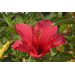 Tropical hibiscus thrives in summer heat
