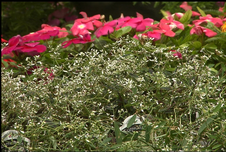 Drought-tolerant euphorbia enhances beauty of other flowers