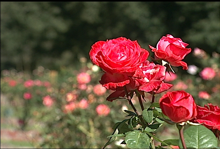 Roses flourish during the fall