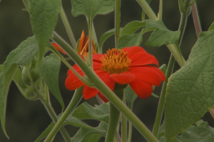 Mexican sunflower stands tall with fall color