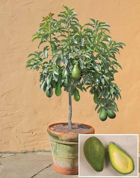 Avocado Tree In Pot Jpg Thumbnail