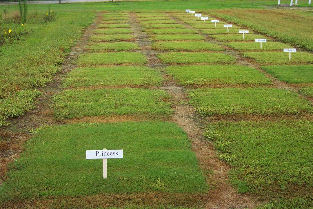 Seeded Turf-type Bermudagrasses