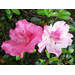 Conversation Piece Azalea – Ornamental Plant of the Week for September 23, 2013