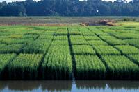 Hybrid Rice Production Costs and Returns: Comparisons with Conventional & Clearfield Varieties