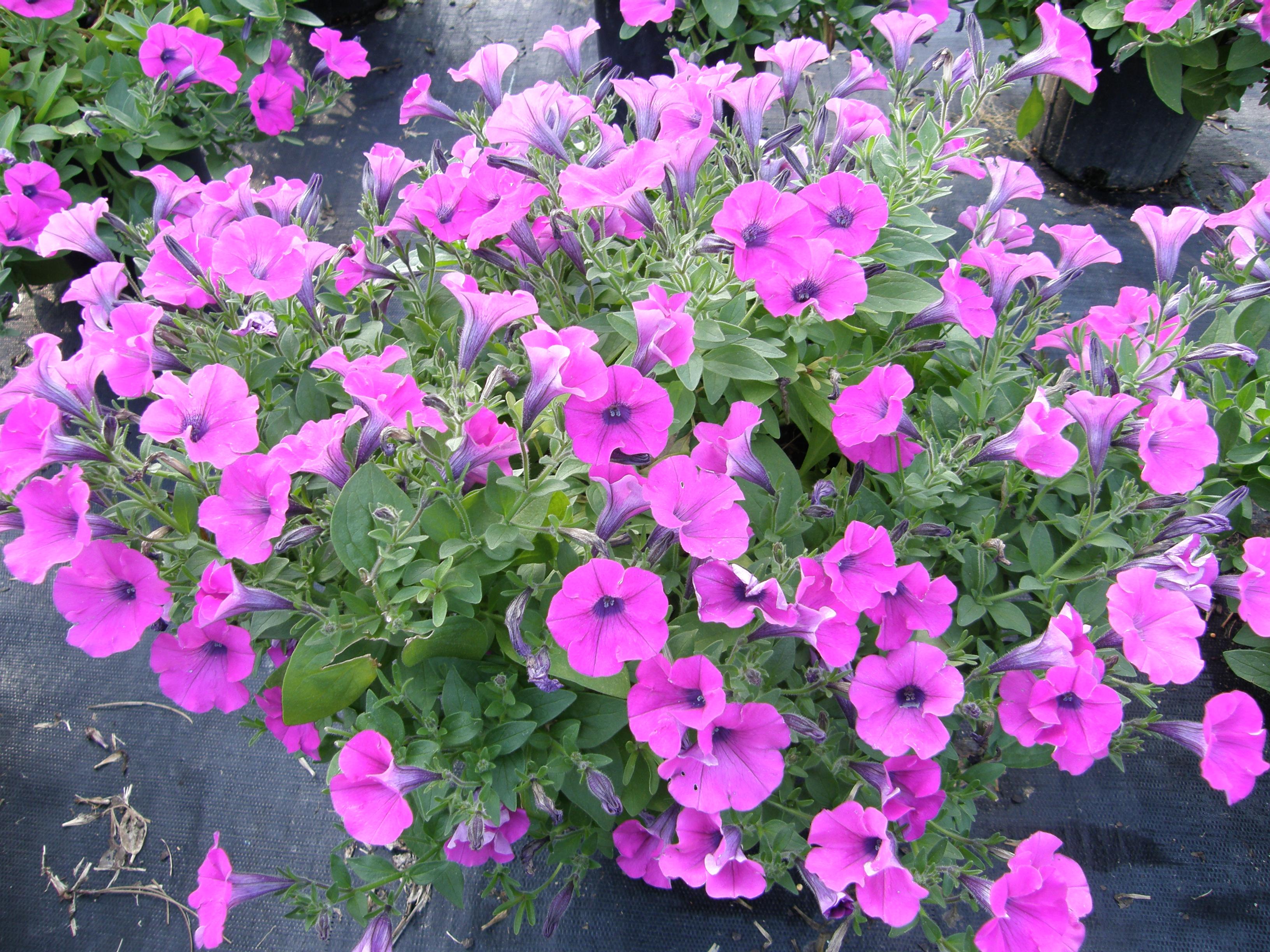 Petunias For Spring Color