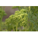 Plant parsley for a tasty winter crop