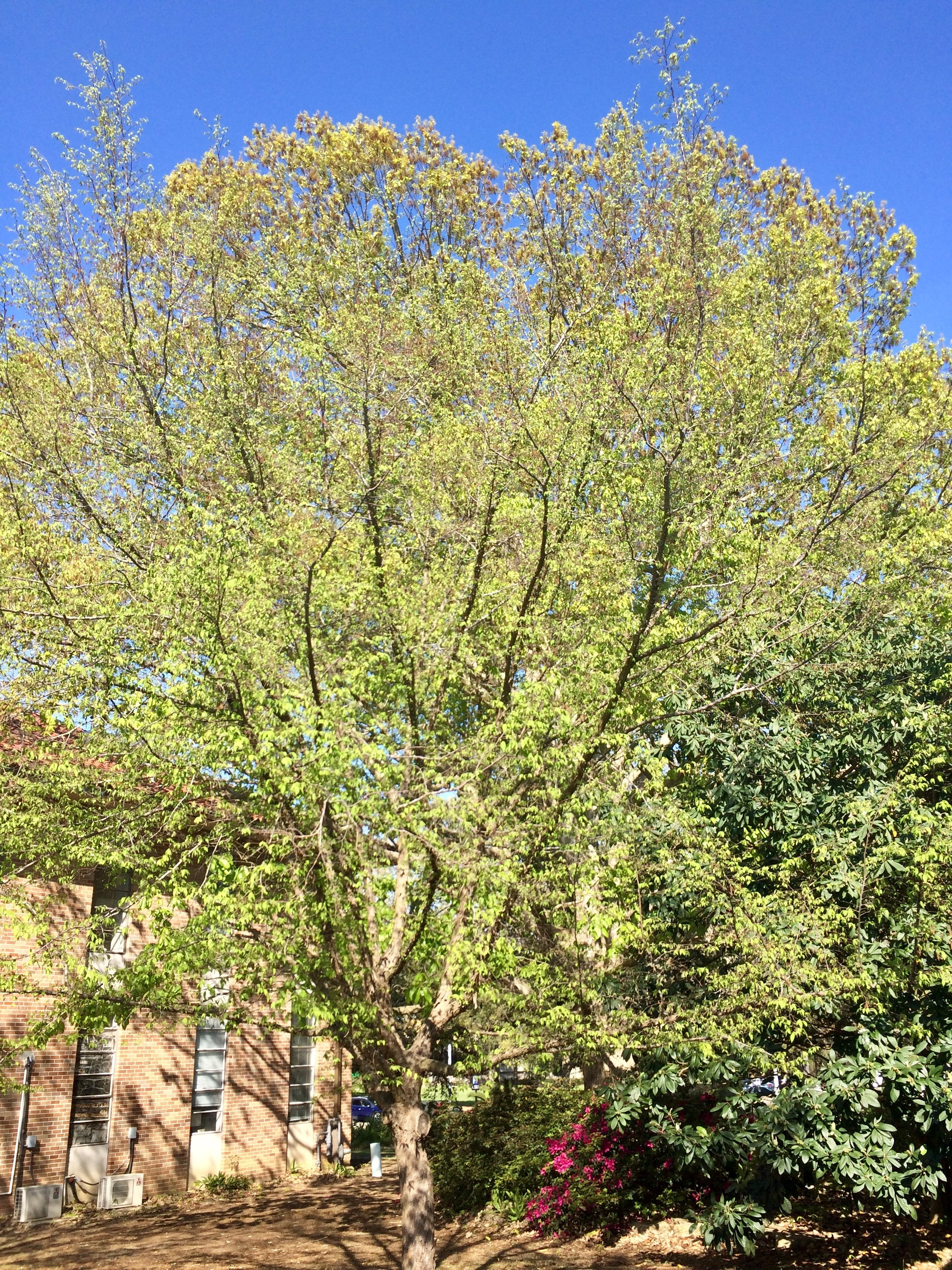 Hop Hornbeam Leafing Out Early Spring.jpg thumbnail