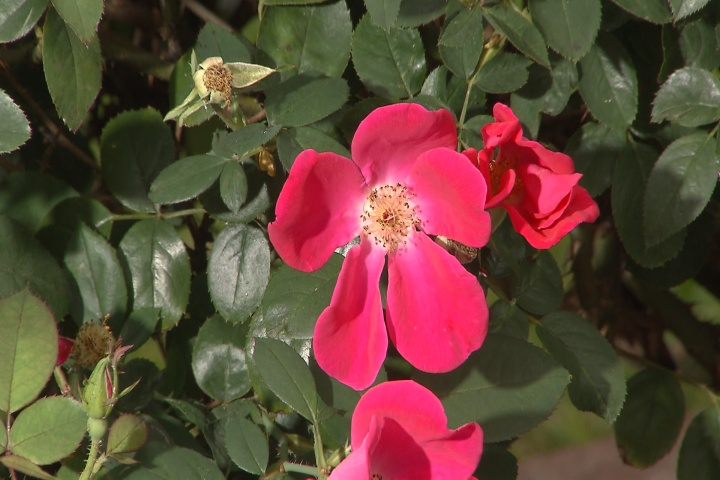 Rose care for fall and winter months