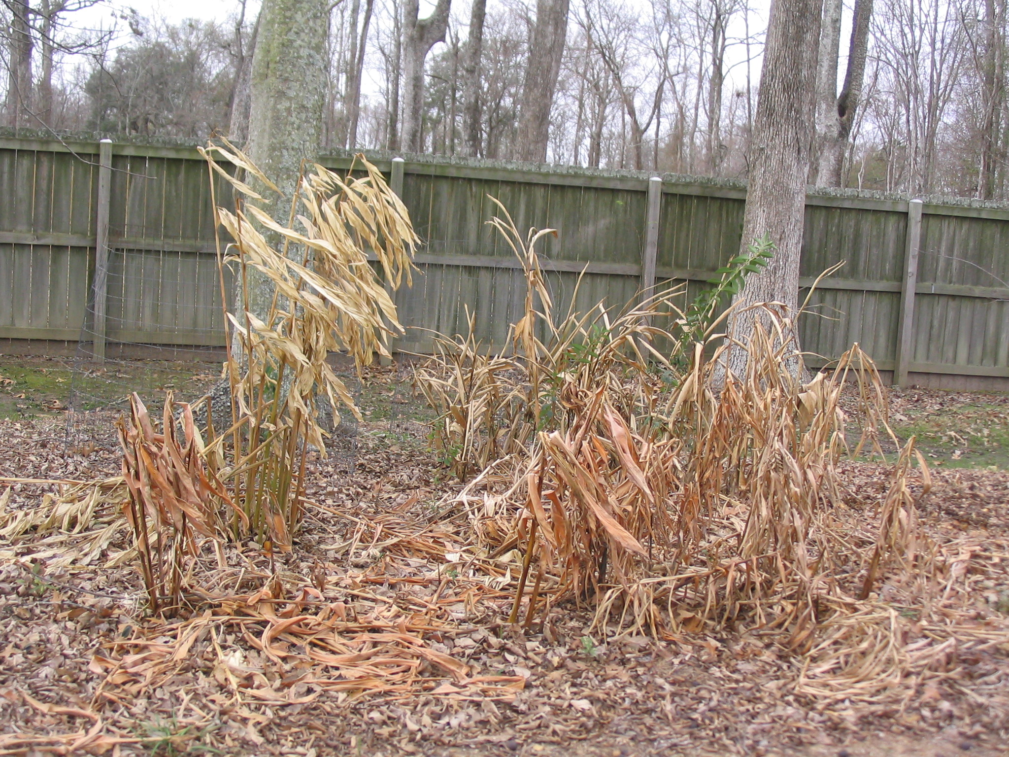 Herbaceous plants - like gingers - can be cut back a few days after a killing freeze.JPG thumbnail