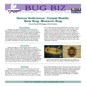 Genus Anthrenus: Carpet Beetle, Bow Bug, Museum Bug