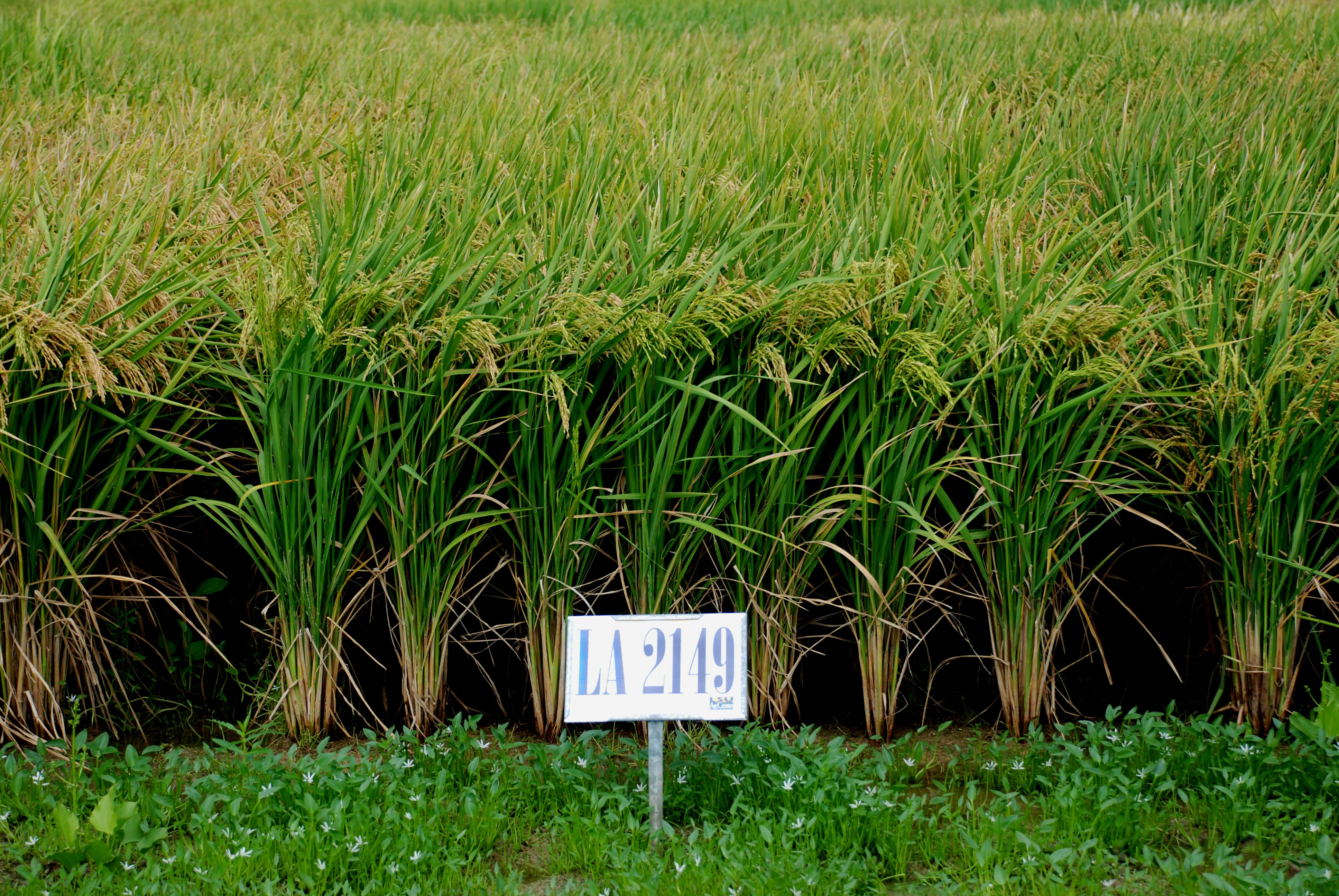 LSU AgCenter Releases Three New Rice Varieties for 2011
