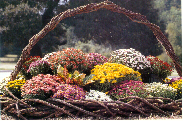 Garden mums provide colorful fall displays