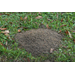 Get ahead of fire ants
