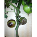 Watch for tomato diseases this spring