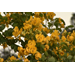 Cassia splendida offers brightness during dreary weather