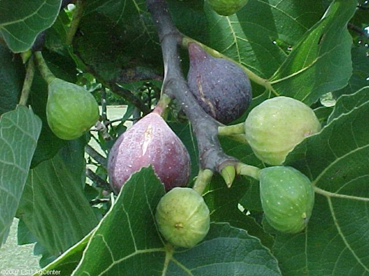 Fall is time to plant fruit trees in La