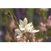 Gaura adds elegant movement to landscapes